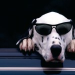 Cool Dalmatian dog with glasses wallpaper