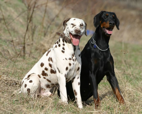 Dalmatian and Doberman