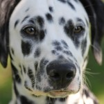 Dalmatian dog head wallpaper