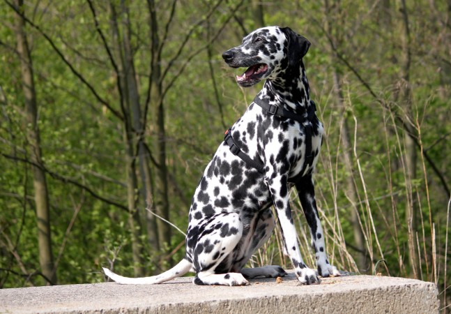 Dalmatian dog with patches