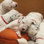 Dalmatian puppies (3 weeks old)