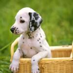 Dalmatian puppy in basket wallpaper