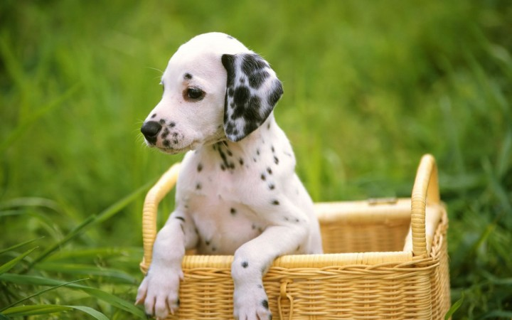 Dalmatian puppy in basket wallpaper