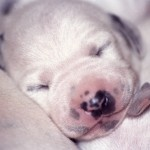 Dalmatian puppy sleeping