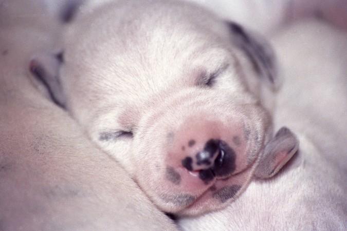 Dalmatian puppy sleeping
