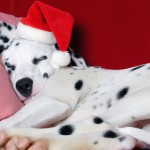Dalmatian with Santa hat wallpaper
