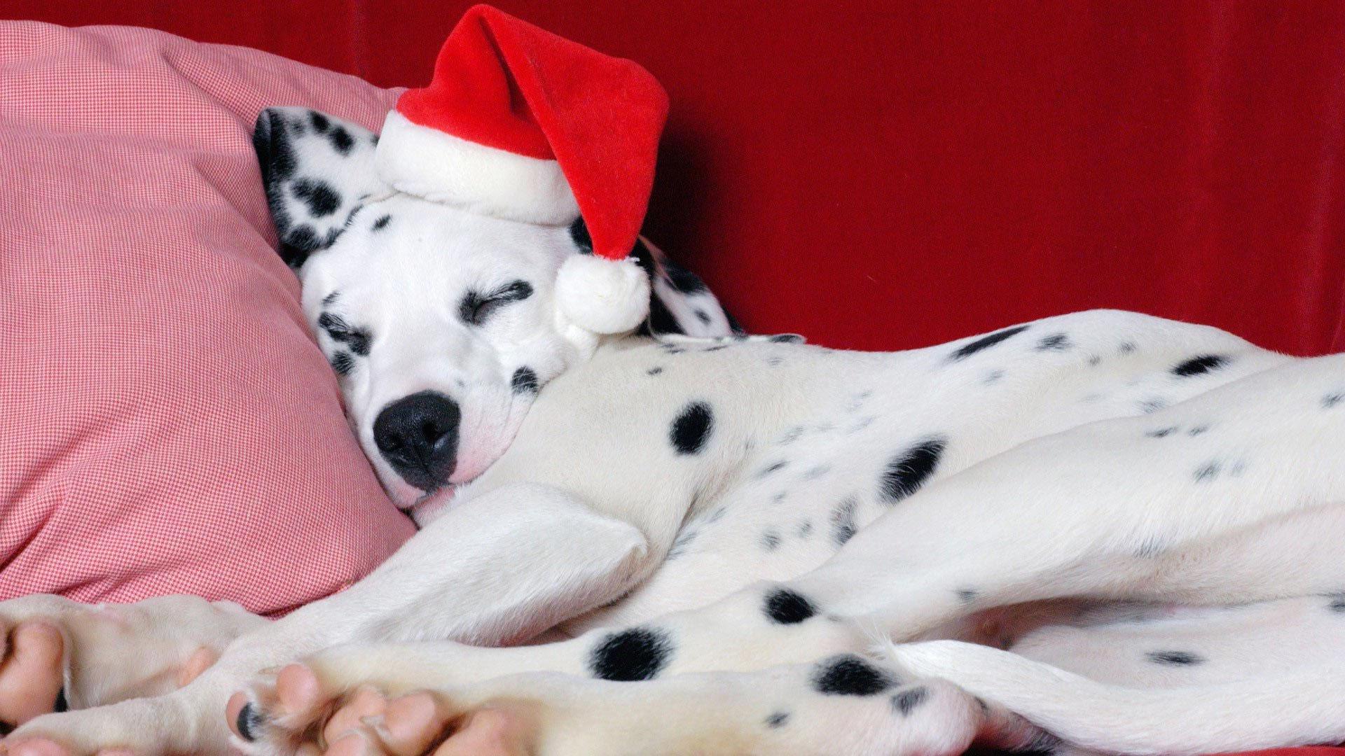 Dalmatian With Santa Hat Wallpaper