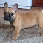 Fawn French Bulldog (2)