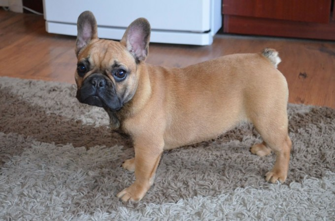Fawn French Bulldog (2)