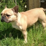 Fawn French Bulldog (3)