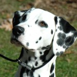 Female Dalmatian portrait