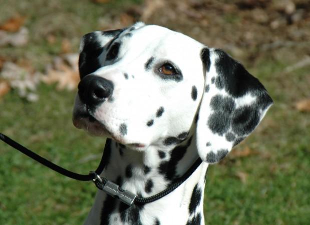 Female Dalmatian portrait