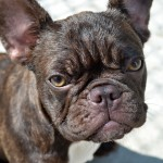 Female brindle French Bulldog wallpaper