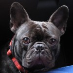 French Bulldog head wallpaper
