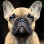 French Bulldog head wallpaper (2)