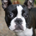 French Bulldog head wallpaper (3)