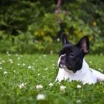 French Bulldog in grass