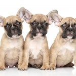 French Bulldog puppies wallpaper