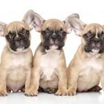 French Bulldog puppies wallpaper