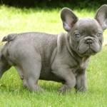 French Bulldog puppy wallpaper (3)