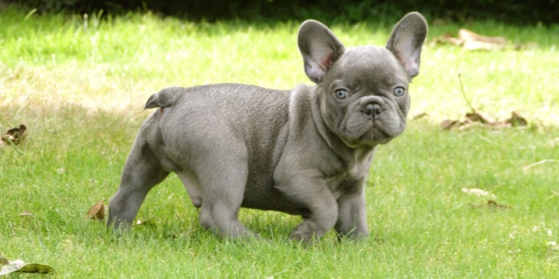 French Bulldog puppy wallpaper (3)