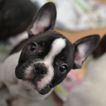 French Bulldog wallpaper (2)