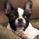 French Bulldog wallpaper (3)
