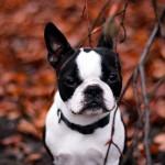 French Bulldog wallpaper (5)