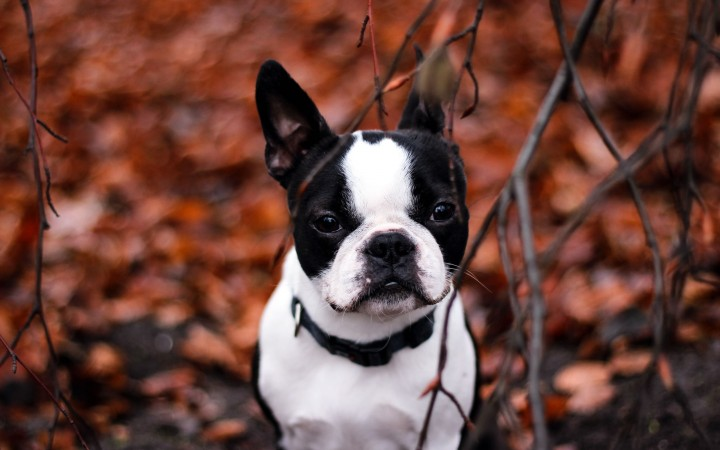 French Bulldog wallpaper (5)