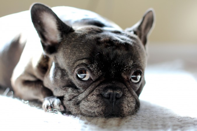 French Bulldog wallpaper