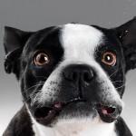 Funny French Bulldog wallpaper