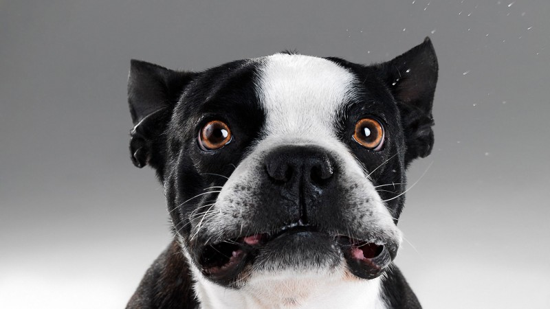 Funny French Bulldog wallpaper