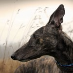 Greyhound closeup wallpaper