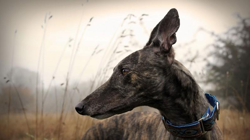 Greyhound closeup wallpaper