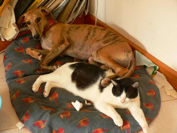 Greyhound puppy with cat