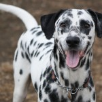 Happy Dalmatian dog wallpaper