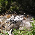 Two Dalmatians in water