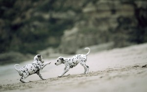 Two Dalmatians playing wallpaper