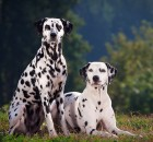Two Dalmatians wallpaper