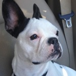 White French Bulldog with dark patches wallpaper