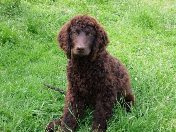 Young American Water Spaniel